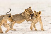 Lion (Panthera Leo) Cubs Playi...