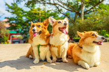 Three Happy Welsh Corgi Pembroke Dogs With Sticking Out Tongues, China