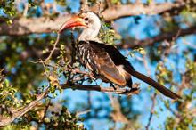Northern Red-billed Hornbill (...
