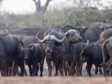 Cape Buffalo Herd (Syncerus Ca...