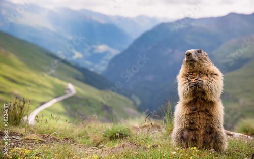 Fotografie, Obraz alpine marmot over Grossglockner road serpentines