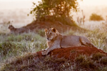 Two Young Male Lions (Panthera...
