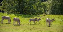 Group Of Baby Antelopes Grazin...