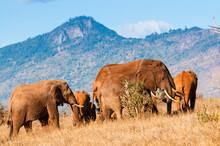 Herd Of Elephants (Loxodonta A...