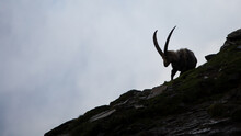 Mountain Goat In The Mountains