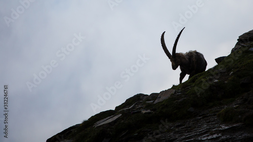 Fototapeta mountain goat in the mountains