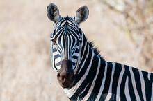 Plains Zebra (Equus Quagga), Taita Hills Wildlife Sanctuary, Kenya