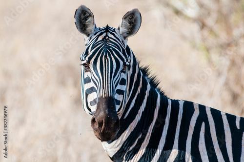 Plains zebra (Equus quagga), Taita Hills Wildlife Sanctuary, Kenya - 382246979