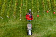 Drone View During The Harvesting Grapes In The Vineyard