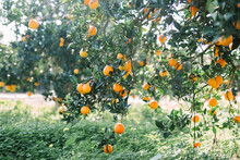 Orange Trees In Italy