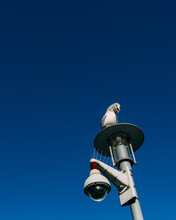 A Vigilant Seagull On Top Of A Lamp Post With CCTV.