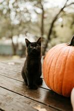 Black Kitten Next To Pumpkin II