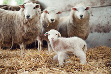 Group Of Ewes And Lamb In A Barn