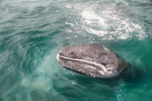 Hello! I Am A Baby Gray Whale ...