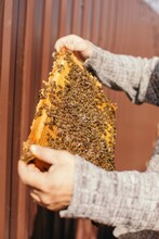 Crop Beekeeper Carrying Honey Frame With Bees