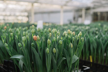 Tulip Flowers In Greenhouse Fl...
