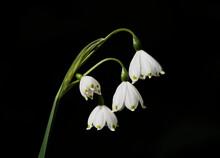 Spring Snowflake (Leucojum Ver...