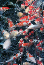 Koi Fishes In A Pond In Tokyo,...