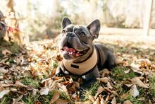A Portrait Of A French Bulldog...