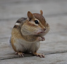 Close Up  Portrait Of A Cute Chipmunk Cheeks Full Of Peanuts Litlle Paws Joined Like If Praying