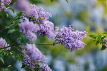 Purple Lilac Blossom In Spring