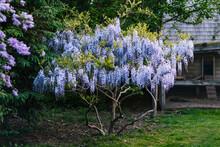 Wisteria Bush Blossom In Spring