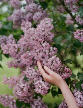 Woman Touches Lilac Spring Blo...