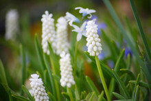 白いムスカリの花