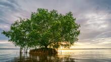 Cork Tree Or Mangrove Apple Tr...