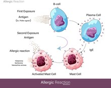 Mechanism Of Human Allergic Re...