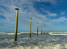 Row Of Pelicans On Old Pier Dock Pilings At The Ocean