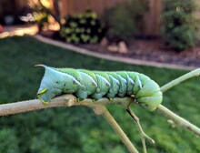 Large Tomato Hornworm On A Stick