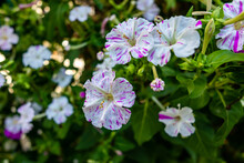 Mirabilis Jalapa Flower In A Garden In Madrid