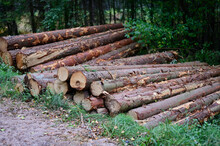 The Logs Lie In The Open Air, Stacked In Piles. Photo Of Cut Trees In The Forest.