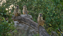 Group Of Three Curious Vervet Monkeys (chlorocebus Pygerythrus) Sitting On Branch And Rock Observing The Scene On Safari In Bwabwata National Park, Caprivi Strip, Namibia, Africa.