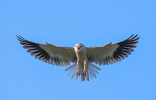 Black Shouldered Kite Is A Rap...
