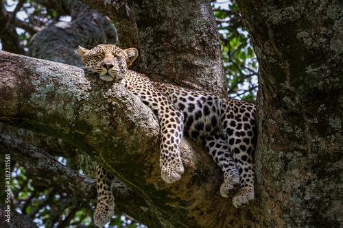 Schlafender Leopard auf einem Baum im Serengeti-Nationalpark in Tansania
