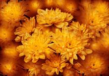 Yellow Chrysanthemums Illustra...