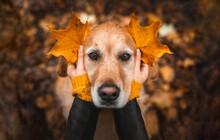 Retriever Im Park Mit Herbstlaub
