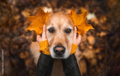 Fototapeta Retriever im Park mit Herbstlaub obraz