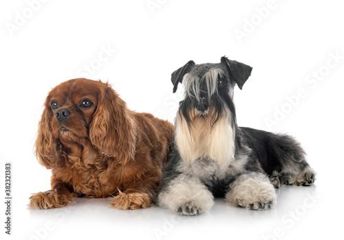 Fototapeta miniature schnauzer and cavalier king charles