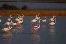 Greater Flamingo , Phoenicopterus Roseus, Doñana National Park, Spain