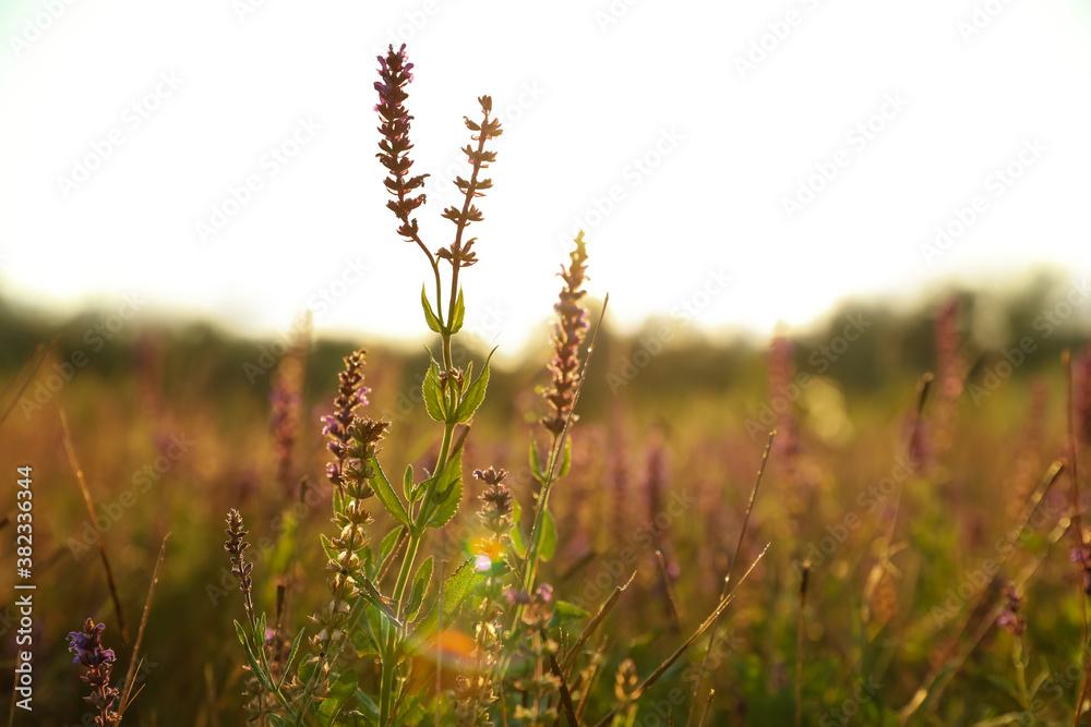 Fototapeta Beautiful field with wild flowers in morning, closeup