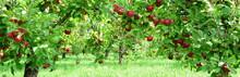 Apfelbaum Mit Roten Äpfeln, A...