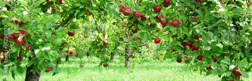 Fotografie, Obraz Apfelbaum mit roten Äpfeln, Apfelernte in Südtirol