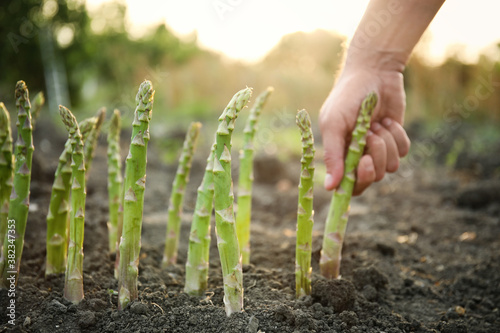 Obraz Man picking fresh asparagus in field, closeup - fototapety do salonu
