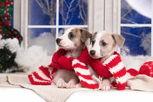 Whippet Puppies In Red Scarves...