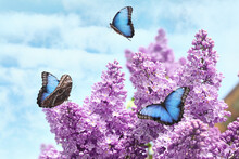 Blossoming Lilac And Amazing Common Morpho Butterflies Outdoors