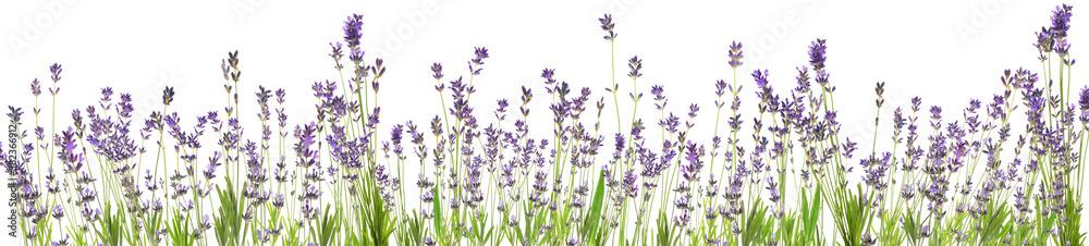 Fototapeta Beautiful lavender flowers on white background. Banner design