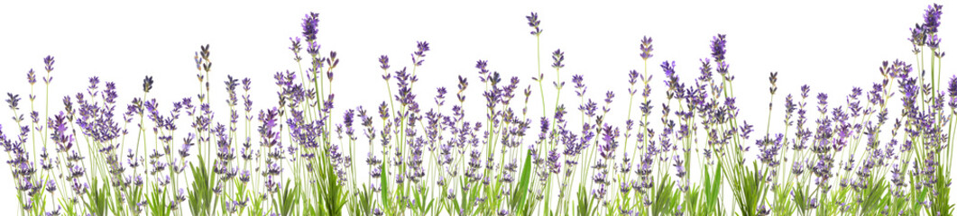 Beautiful lavender flowers on white background. Banner design
